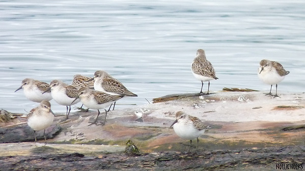 Sanderlings Lite