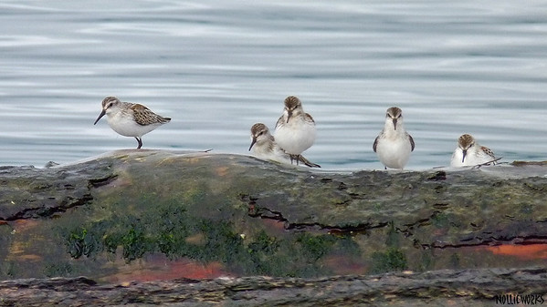 Sanderlings Dark
