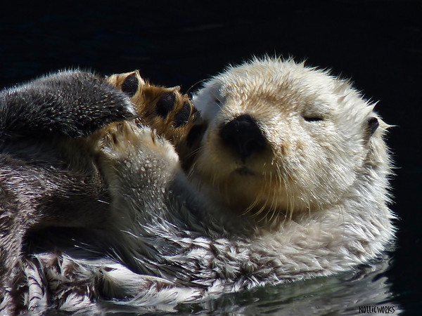 Otter Dozing Off
