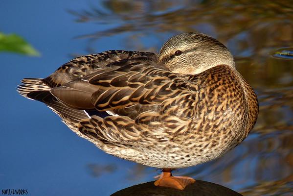 DuckFriend 1
